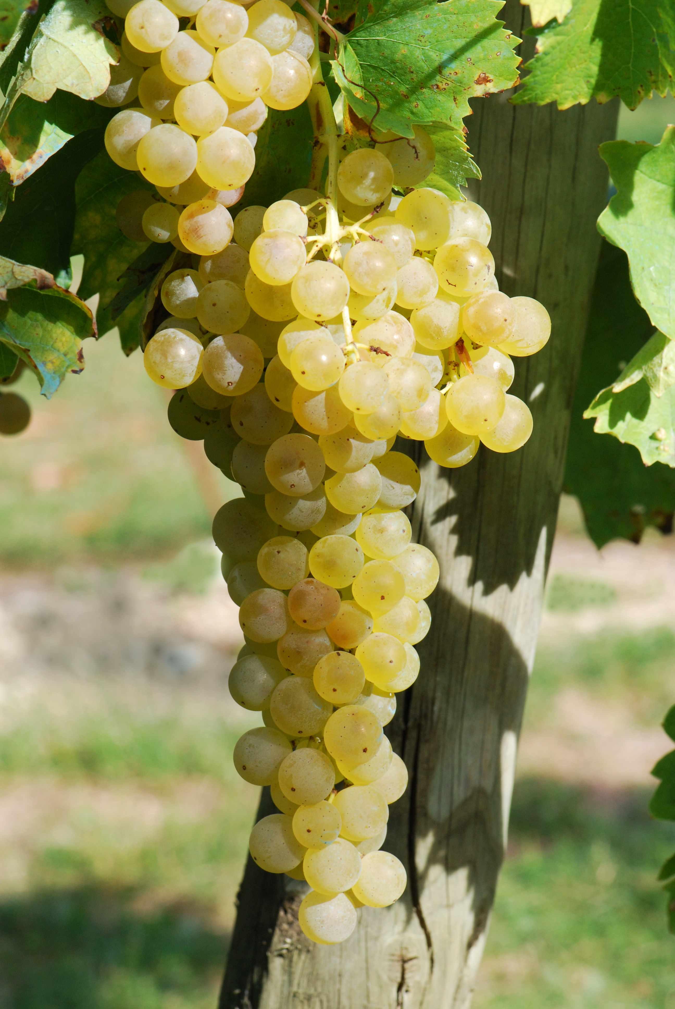 Ugni Blanc Cognac grape