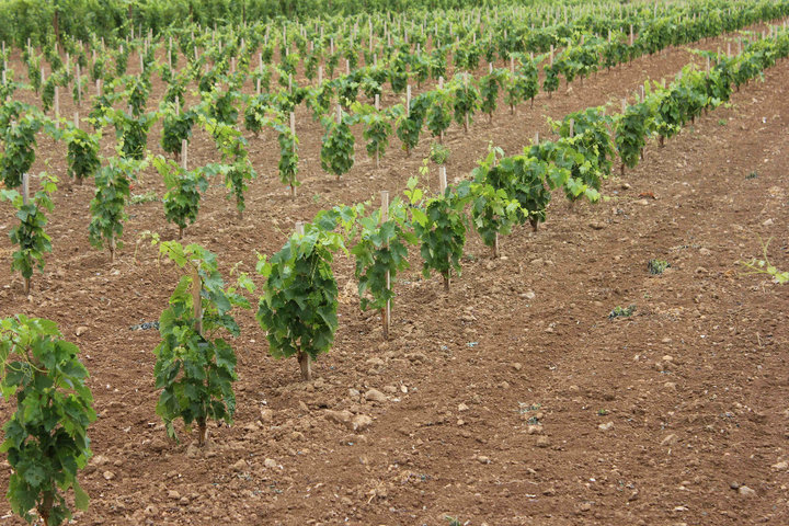 young vineyard in Cognac